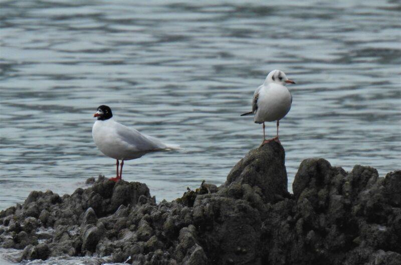 Mediterranean Gull with Black-headed Gull