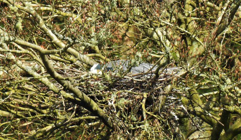 Grey Heron incubating eggs