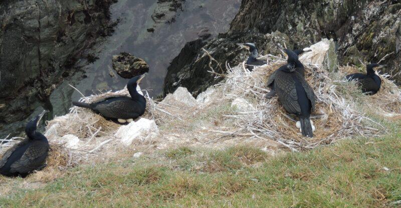 Cormorants sitting on eggs on Looe Island , February 2013