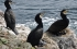Cormorants with altricial young, March 2019