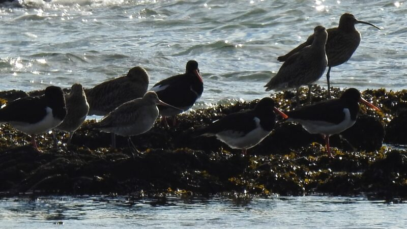 Bar-tailed Godwit is the fourth bird from the left