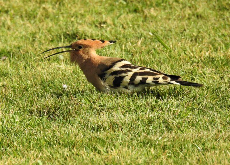 Hoopoe, 6th April, in a garden near Looe