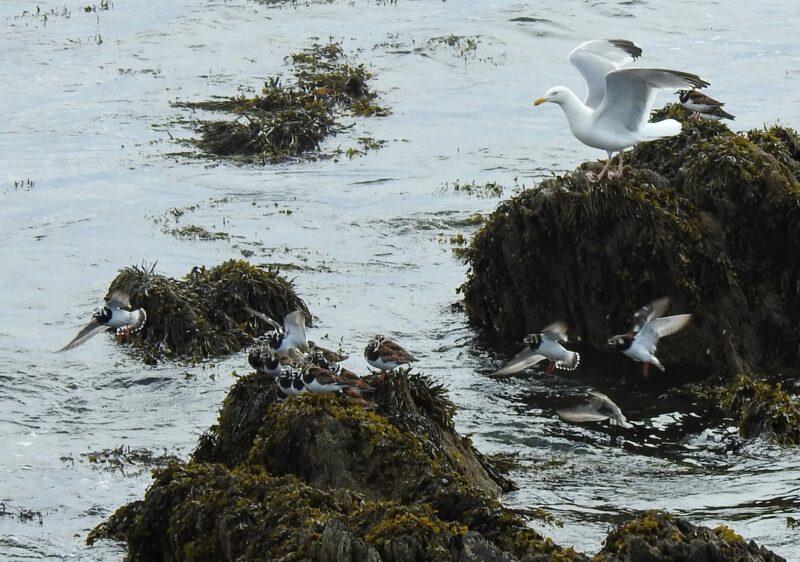 Turnstones and Herring Gull