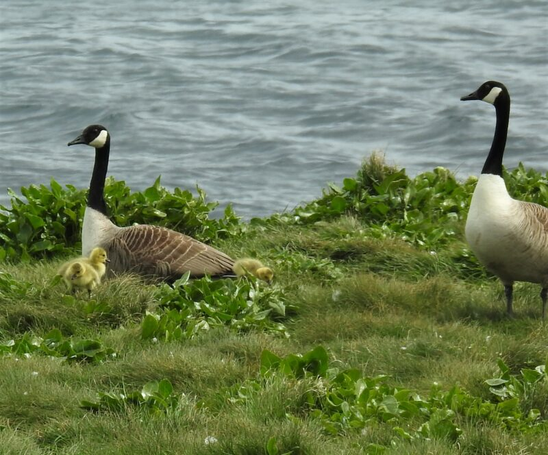 Canada Geese with goslings, 5th May