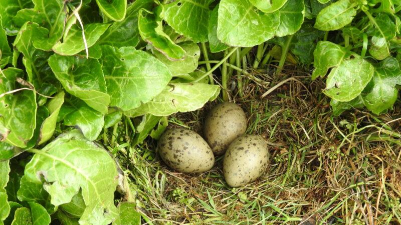 Great Blackback nest on Little Island