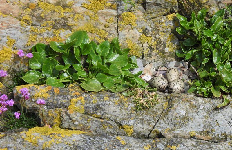 Oystercatcher nest on Little Island