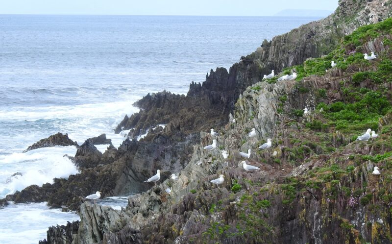 Herring Gull colony on the southern cliffs
