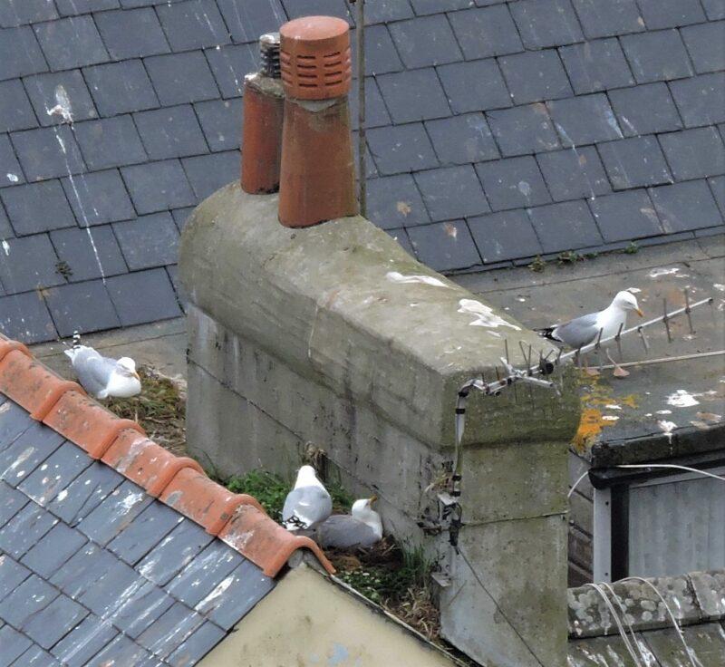 Herring Gull nests in East Looe