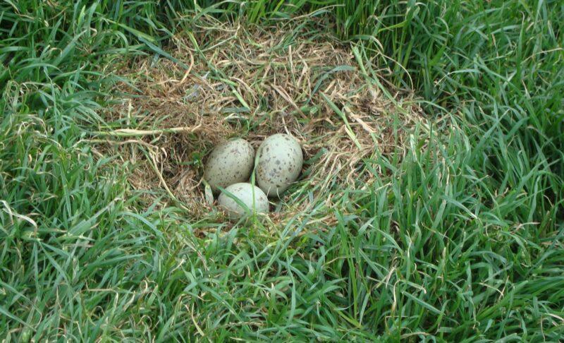 Great Blackback nest on the Slope