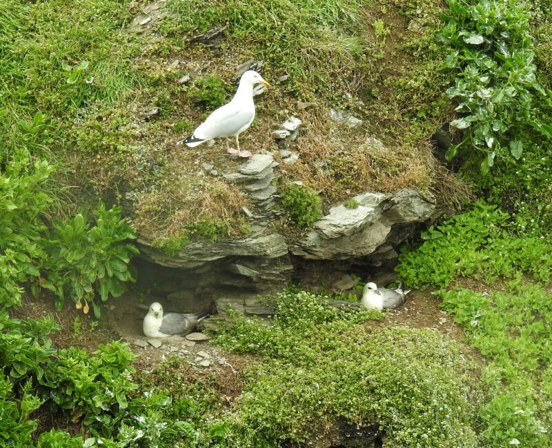 Two Fulmar nests with a Herring Gull taking an interest