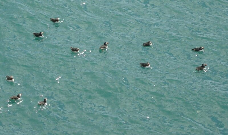 Puffins at sea - sitting targets